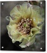 Prickly Pear Blossom 3 Acrylic Print