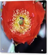 Prickly Pear Blossom With Bee Acrylic Print