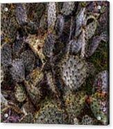 Prickly Pear Cactus At Tonto National Monument Acrylic Print