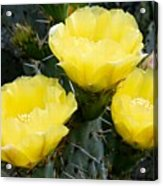 Prickly Pear Cactus Blossoms Acrylic Print