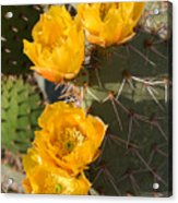 Prickly Pear Cactus Flowers Acrylic Print