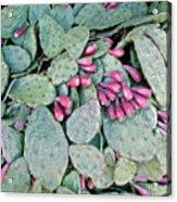 Prickly Pear Cactus Fruits Acrylic Print