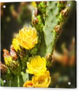 Prickly Pear Cactus In Bloom Acrylic Print