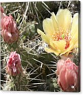 Prickly Pear Cactus  Acrylic Print