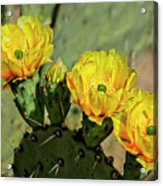 Prickly Pear Flowers H42 Acrylic Print