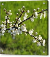 Pride Of The Hedgerow Acrylic Print