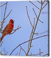 Primary Colours - Northern Cardinal - Cardinalis Cardinalis Acrylic Print