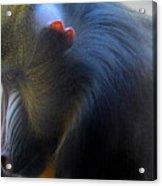 Primate1 Acrylic Print