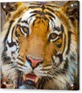 Prime Tiger Acrylic Print