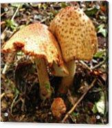 Prince Agaricus Mushroom Acrylic Print