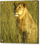 Princely Lion Acrylic Print