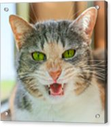 Priscilla A Cat Of My Mother Acrylic Print