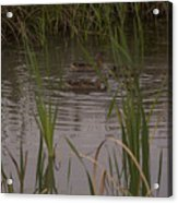 Private Duck Swimming Hole 1 Acrylic Print