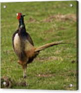 Private Pheasant Acrylic Print