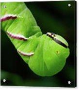 Privet Hawk Moth Caterpillar Acrylic Print