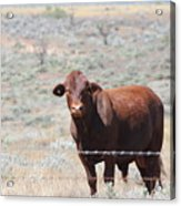 Proby's Cow Acrylic Print