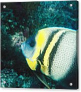 Profile Of A Cortez Angelfish Acrylic Print by James Forte
