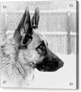 Profile Of A German Shepherd Acrylic Print