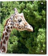 Profile Of A Giraffe Acrylic Print
