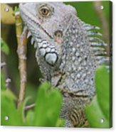 Profile Of A Gray Iguana In The Top Of A Bush Acrylic Print