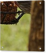 Profile Of A Male House Finch Acrylic Print