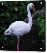Profile Of A Pink Lesser Flamingo Acrylic Print