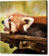 Profile Of A Red Panda Acrylic Print