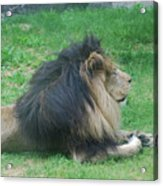 Profile Of A Sleeping Lion In Grass Acrylic Print