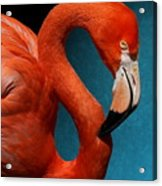 Profile Of An American Flamingo Acrylic Print