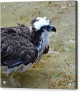 Profile Of An Osprey In Shallow Water Acrylic Print