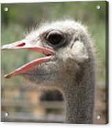 Profile Of An Ostrich Acrylic Print