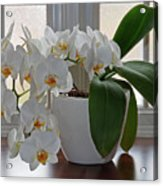 Profusion Of White Orchid Flowers Acrylic Print