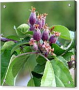 Promise Of Apples To Come Acrylic Print