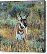 Pronghorn Antelope Amid Fall Foliage Wyoming Acrylic Print