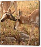 Pronghorn Antelope Bucks Locking Horns Acrylic Print