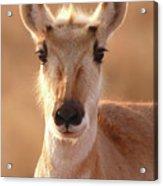 Pronghorn Antelope Doe In Soft Light Acrylic Print
