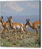 Pronghorn Antelope Running Acrylic Print
