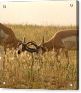 Pronghorn Antelope Sparring In Autumn Field Acrylic Print