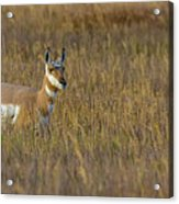 Pronghorn At Golden Hour Acrylic Print