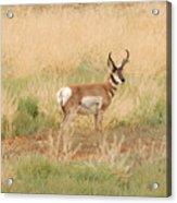 Pronghorn Buck Acrylic Print
