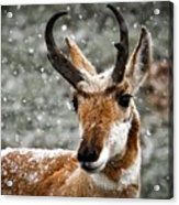 Pronghorn Buck In Snow - Yellowstone National Park Acrylic Print