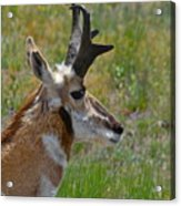 Pronghorn Buck Profile Acrylic Print by Karon Melillo DeVega