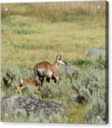 Pronghorn Doe With Her Twins Acrylic Print