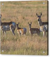 Pronghorn Fawns And Their Mothers Acrylic Print