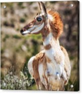 Pronghorn Mother Acrylic Print