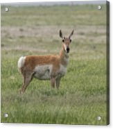 Pronghorn On The Plains Acrylic Print