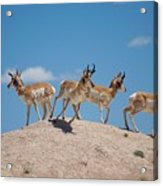 Pronghorn Scatter Acrylic Print