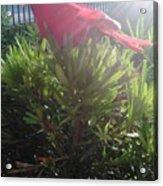Prop Cardinal #2 Acrylic Print