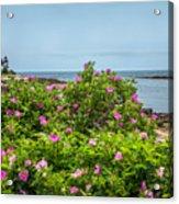 Prospect Harboa Roses Acrylic Print