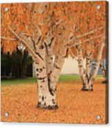 Prosser - Autumn Birch Trees Acrylic Print